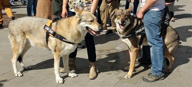lobo-vivo-protegido-marzo-2017-6